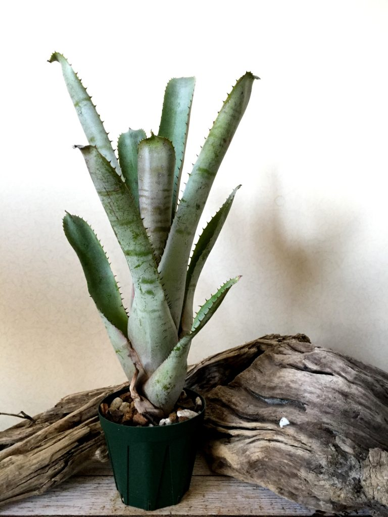エクメア・カウ Aechmea 'Ka'u' (Aech. 'Ebony' × Aech. tessmannii (pink form))
