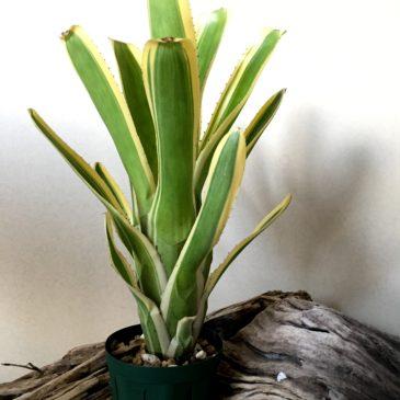 エクメア・ヌディカウリス・フラボマルギナータ Aechmea nudicaulis var. flavomarginata 育て方 図鑑 【Frontier Plants】