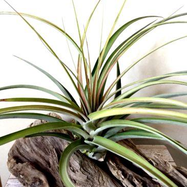 チランジア・ パチャラロージーチャーム Tillandsia Pachara Rosy Charm (T. roland-gosselinii x T.fasciculata 'Tropiflora') ティランジア育て方 図鑑