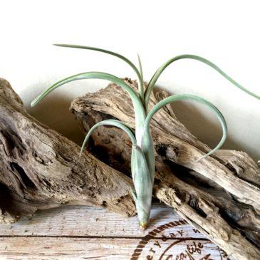 チランジア・インターメディア・ジャイアントフォーム Tillandsia intermedia 'Giant Form' ティランジア育て方 図鑑