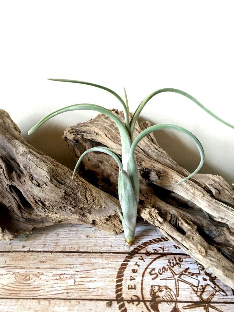 チランジア・インターメディア・ジャイアントフォーム Tillandsia intermedia 'Giant Form'