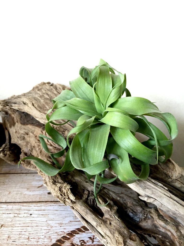 チランジア・ストレプトフィラ・ハイブリッド Tillandsia streptopyhylla 'Hybrids'