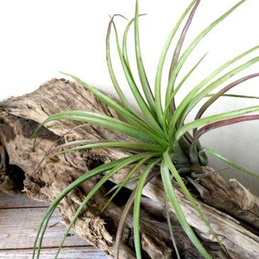 チランジア・フューシャセンセーション Tillandsia  Fuchsia Sensation(T.ionantha(No.9720) × T.capitata 'Roja')ティランジア育て方 図鑑