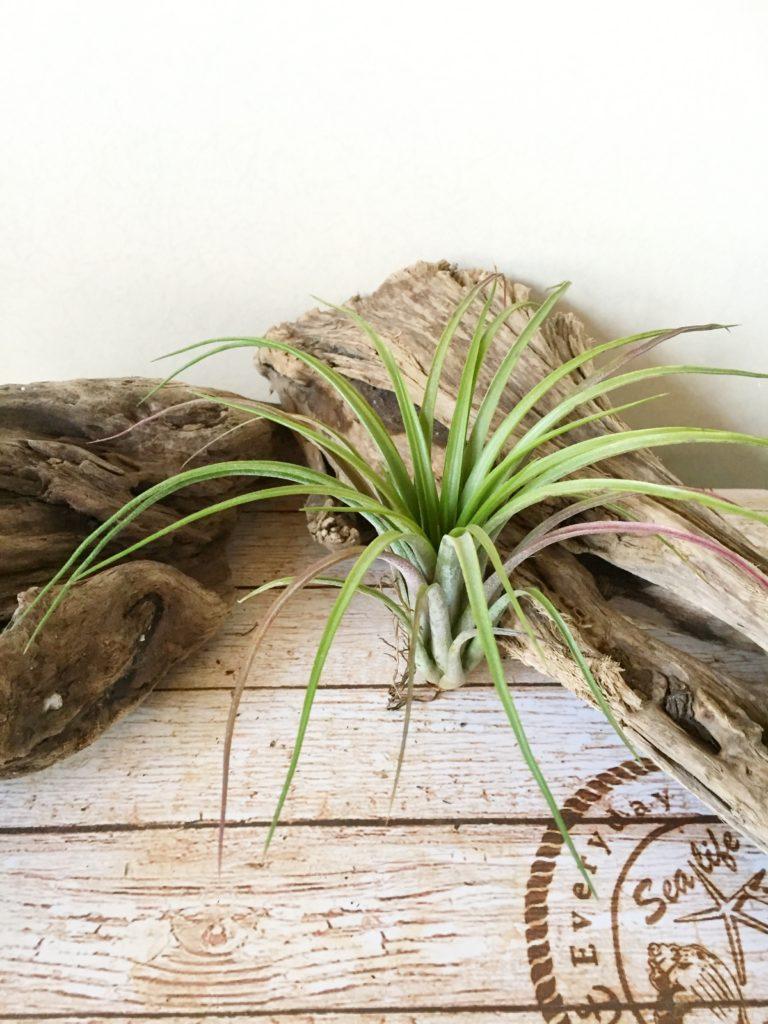 チランジア・フューシャセンセーション Tillandsia Fuchsia Sensation(T.ionantha(No.9720) × T.capitata 'Roja')
