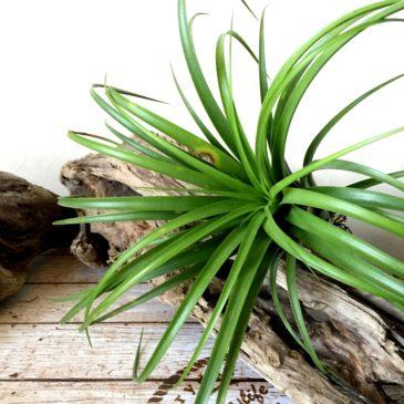 チランジア・パチャラパピヨン Tillandsia Pachara Papillon (T. rothii xT. ionantha) ティランジア育て方 図鑑