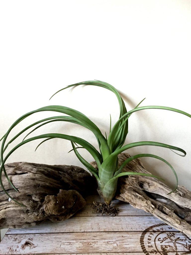 チランジア・フレクスオーサ・ジャイアントフォーム Tillandsia flexuosa 'Giant Form'
