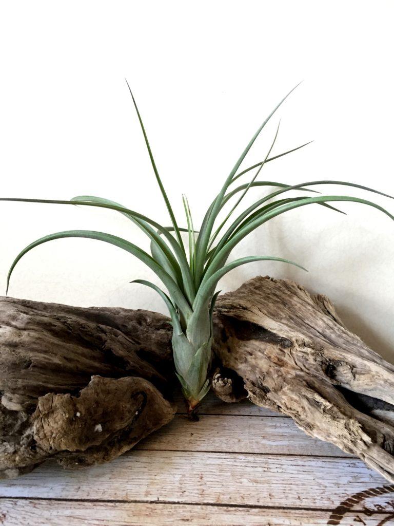 チランジア・ロイヤル Tillandsia Royale (T. balbisiana x T.velutina)
