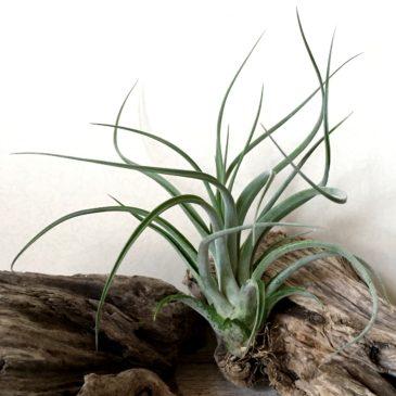 チランジア・ロバートグロステスト Tillandsia Robert Grosseteste ( T. caput-medusae x T. capitata 'Roja') ティランジア育て方 図鑑