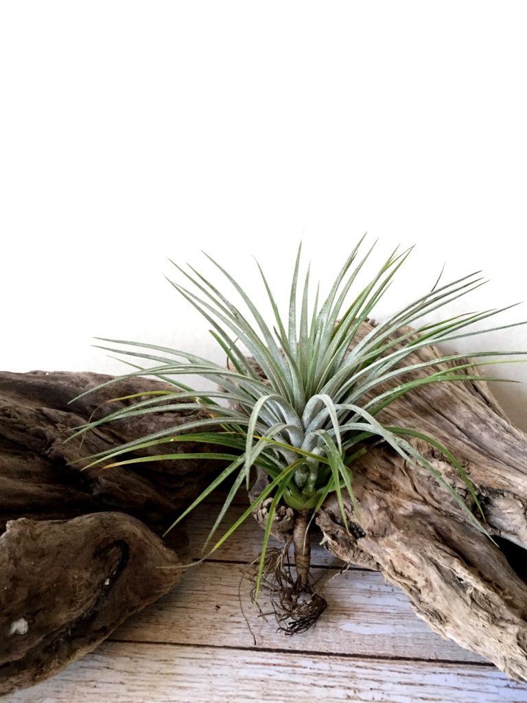 チランジア・クターナ Tillandsia Ku-Thana (T. schiedeana x T. ionantha var. stricta)