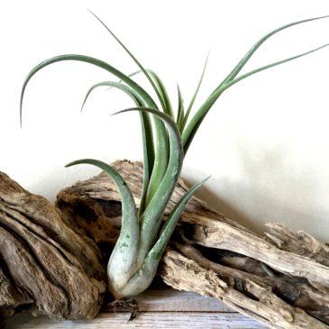 チランジア・エルグアポ Tillandsia El Guapo ( T. streptophylla x caput-medusae) ティランジア育て方 図鑑