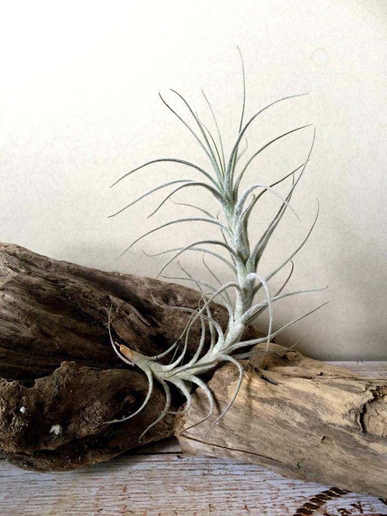 チランジア・テクトラム・カウレッセントフォーム Tillandsia tectorum 'Caulescent Form'