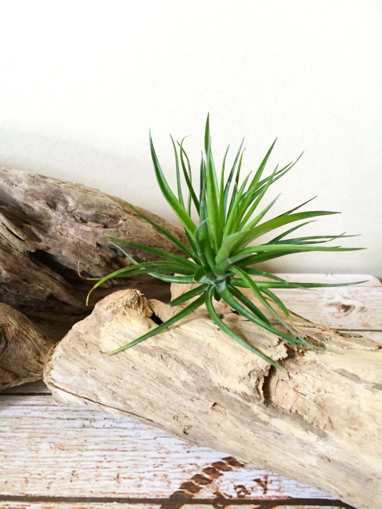 チランジア・テヌイフォリア・エメラルドフォレスト Tillandsia tenuifolia 'Emerald Forest'