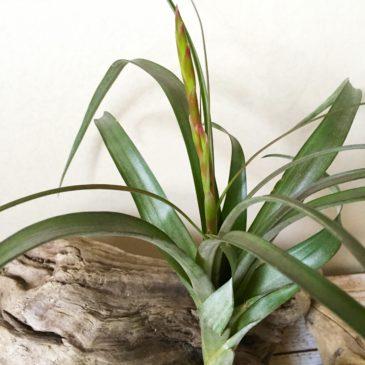チランジア・フラベラータ・ルブラ Tillandsia flabellata 'Rubra' ティランジア育て方 図鑑
