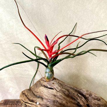 チランジア・ブルボーサ・ベリーズ Tillandsia bulbosa 'Belize' 育て方 図鑑