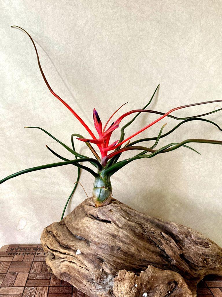 チランジア・ブルボーサ・ベリーズ Tillandsia bulbosa 'Belize'