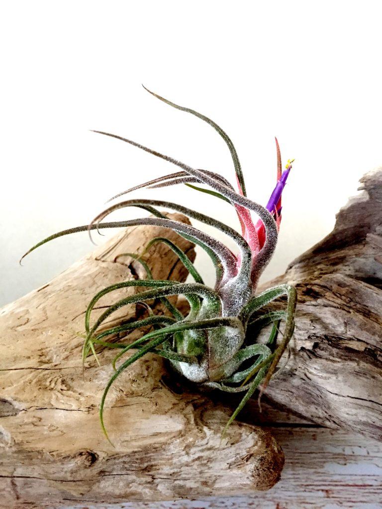 チランジア・プルイノーサ・ジャイアント Tillandsia pruinosa 'Giant'