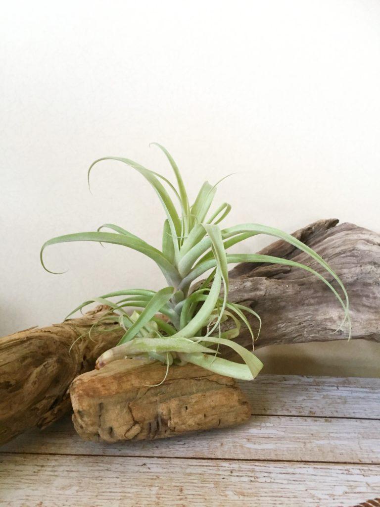 チランジア・ラティフォリア・ディバリカータ Tillandsia latifolia var. divaricata