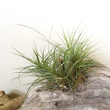 チランジア・テヌイフォリア・ブルーフラワー Tillandsia tenuifolia `Blue Flower' 育て方 図鑑