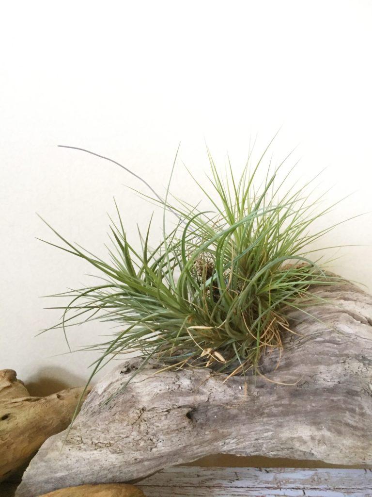 チランジア・テヌイフォリア・ブルーフラワー Tillandsia tenuifolia `Blue Flower'
