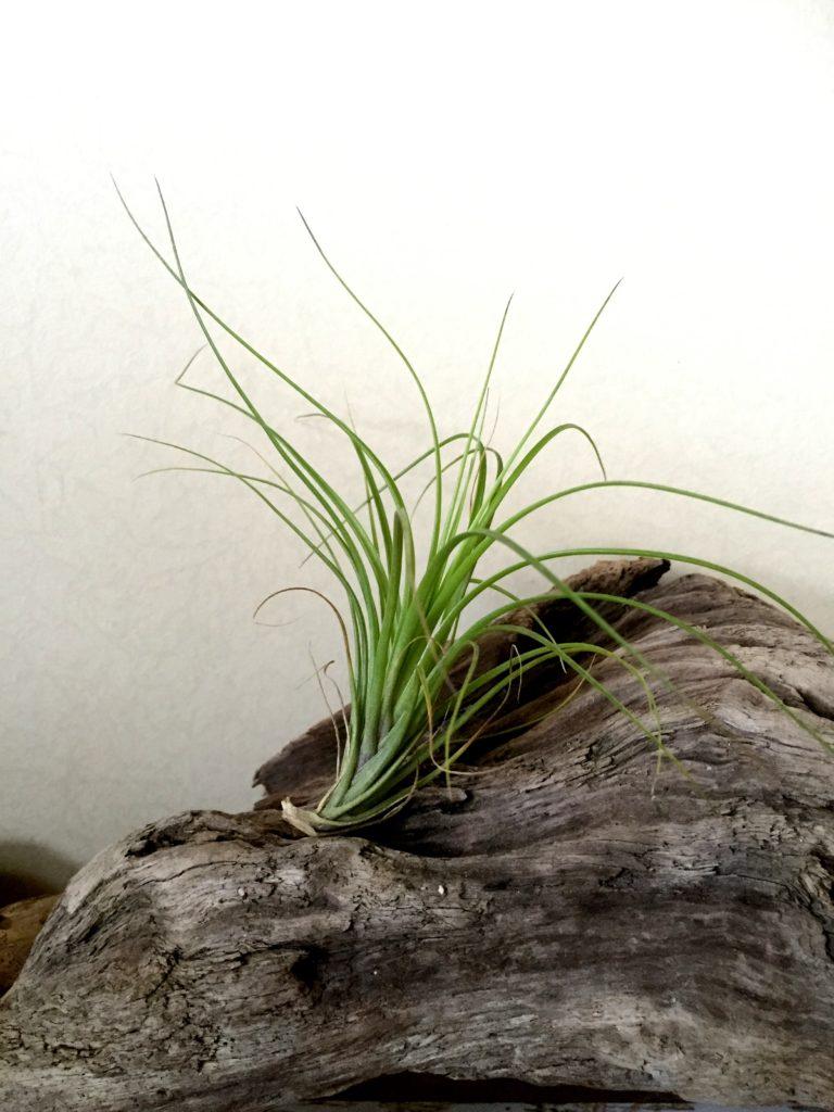 チランジア・エメラルドゴッデス Tillandsia Emerald Goddess (T. tenuifolia Emerald Forest X T. tenuifolia Green Goddess)