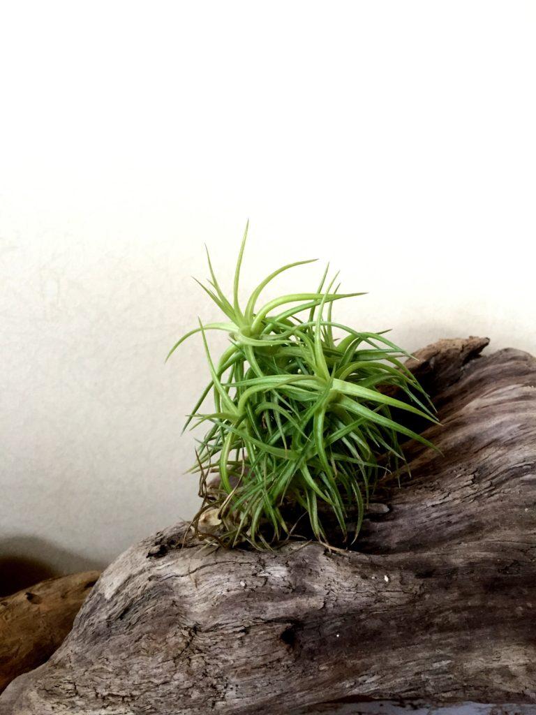 チランジア・アエラントス・ミニアータ  Tillandsia aeranthos `Miniata'