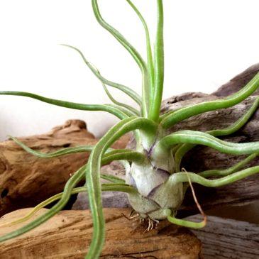 チランジア・ショータイム Tillandsia Showtime (T. bulbosa X T. streptophylla) 育て方 図鑑