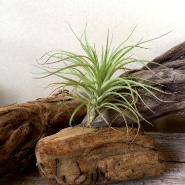 チランジア・ヒューストン Tillandsia Houston (T.stricta × T.recurvifolia) 育て方 図鑑