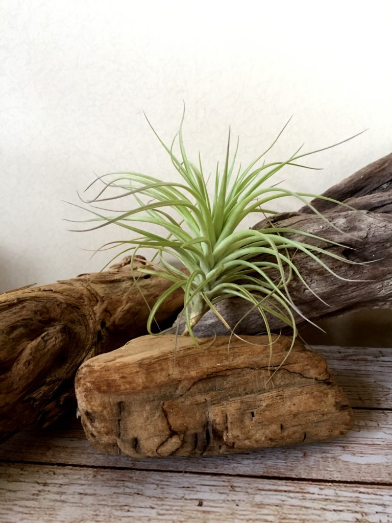 チランジア・ヒューストン Tillandsia Houston (T.stricta × T.recurvifolia)