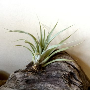 チランジア・マジックピーチ Tillandsia Magic Peach (T. capitata 'Peach' X T. xerographica) 育て方 図鑑