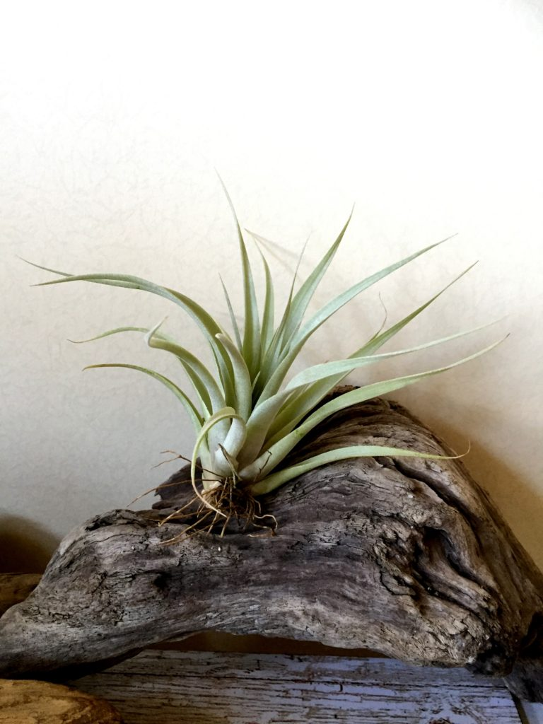 チランジア・マジックピーチ Tillandsia Magic Peach (T. capitata 'Peach' X T. xerographica)