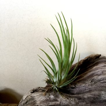 チランジア・レオジェイドゥルイド Tillandsia Leo J Druid (T. ionantha `Druid' × T. bulbosa) 育て方 図鑑