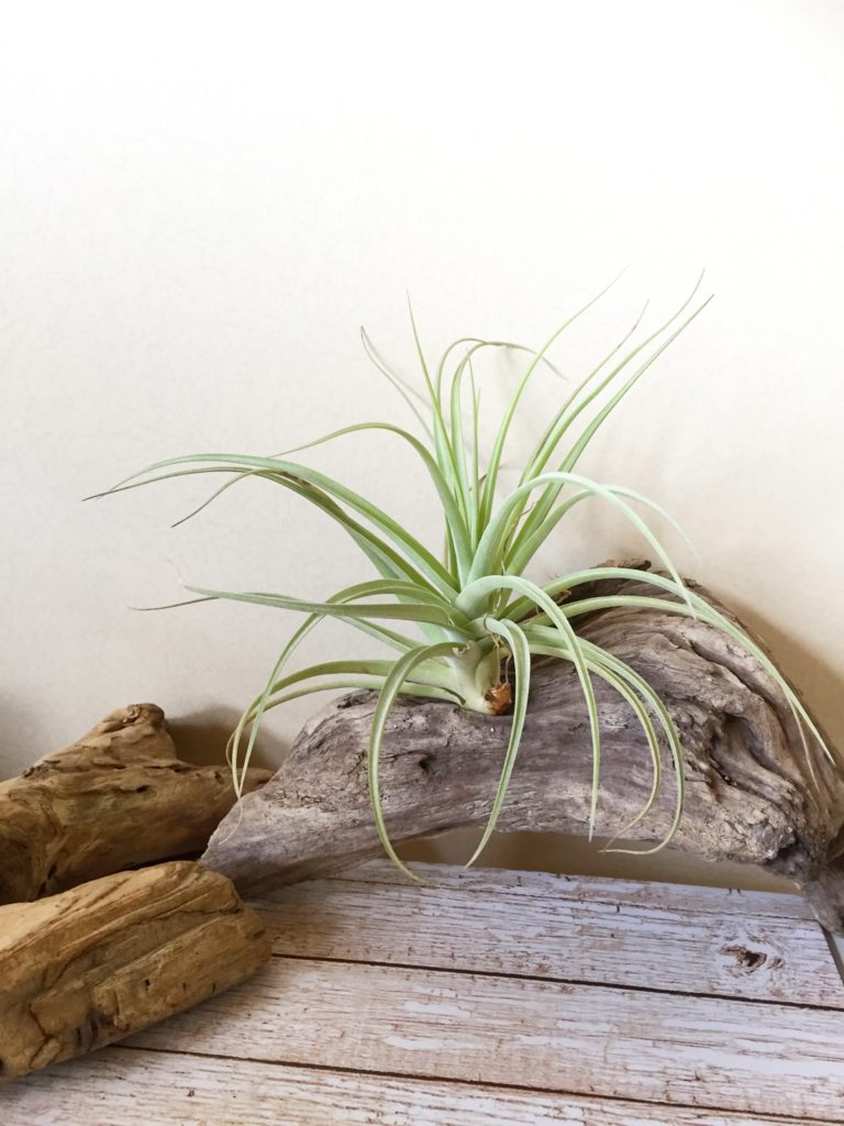 チランジア・パステルパーフェクション Tillandsia Pastel Perfection (T. arequitae X T. stricta)