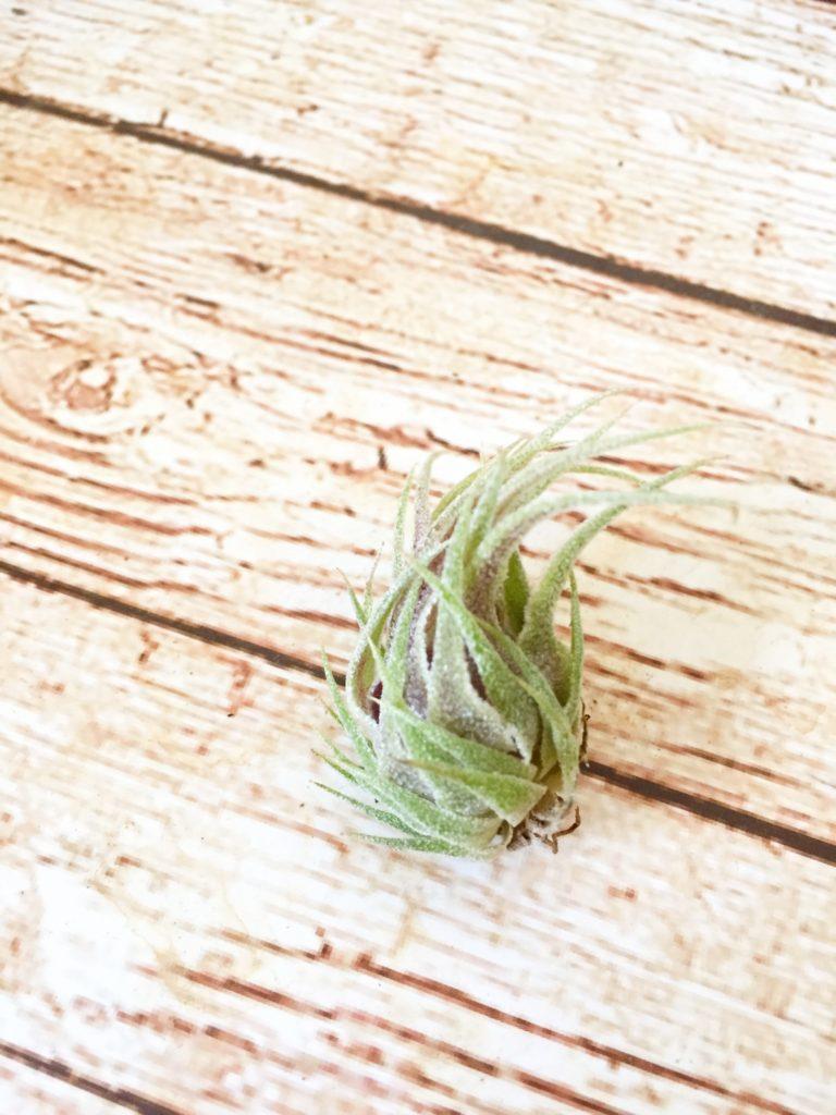 チランジア・スプレンゲリアナ・レッドリーフ Tillandsia sprengeliana 'Red Leaf'