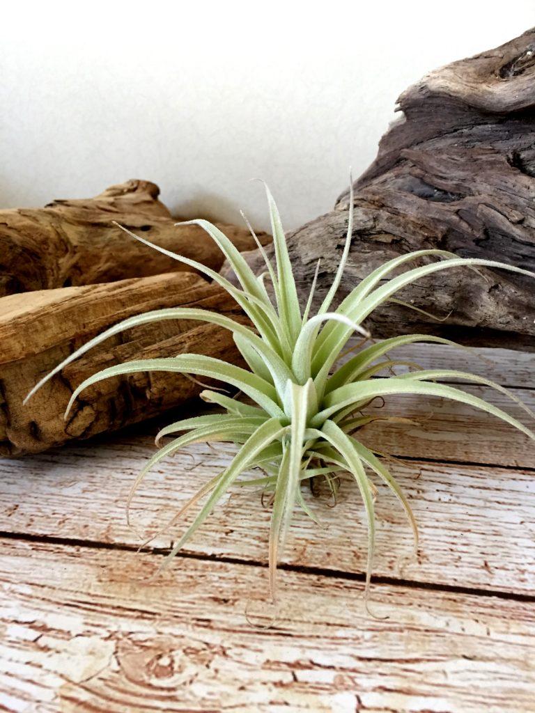 チランジア・レオナミアナ Tillandsia leonamiana
