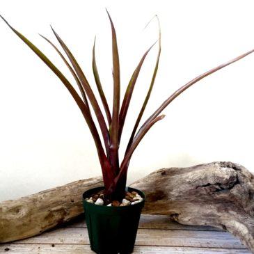 エクメア・ブラックオンブラック Aechmea 'Black on Black' (Ae.victoriana var. discolor × Ae.recurvata (red form)) 育て方 図鑑 【Frontier Plants】