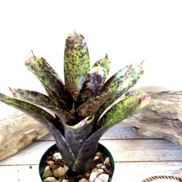 ネオレゲリア・アリエル Neoregelia 'Ariel' (Neo.tristis 'Oppenheimer' × Neo.pauciflora) 育て方 図鑑 【Frontier Plants】