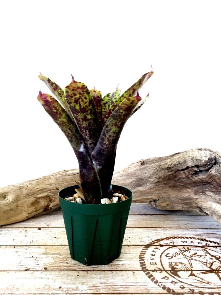 ネオレゲリア・アリエル Neoregelia 'Ariel' (Neo.tristis 'Oppenheimer' × Neo.pauciflora)