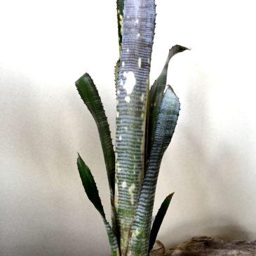 ビルベルギア・パイプライン  Billbergia Pipeline (Bill. 'Windii' x Bill. 'Domingos Martins') 育て方 図鑑 【Frontier Plants】