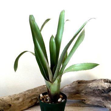 ホヘンベルギア・フミリス Hohenbergia humilis 育て方 図鑑 【Frontier Plants】