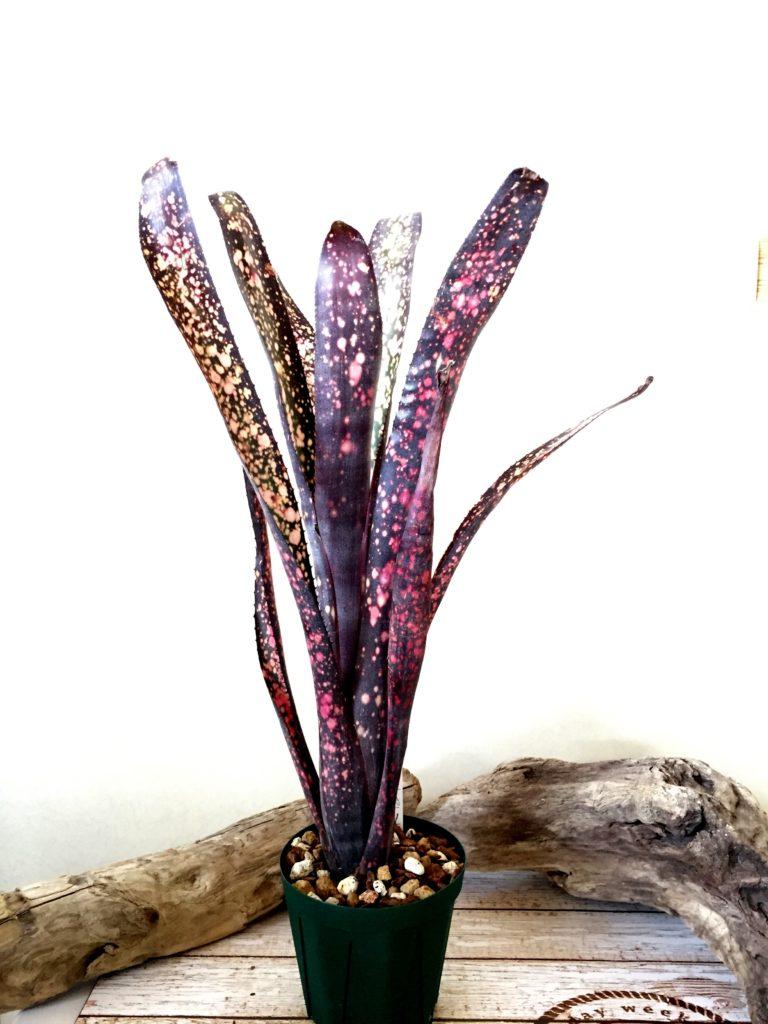 ビルベルギア・ブラックチェリー Billbergia Black Cherry