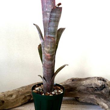 ビルベルギア・ステアウェイ トゥ ヘブン  Billbergia Stairway to Heaven  (Bill.vittata x (Bill.vittata x Bill.'Poquito Blanco')) 育て方 図鑑 【Frontier Plants】