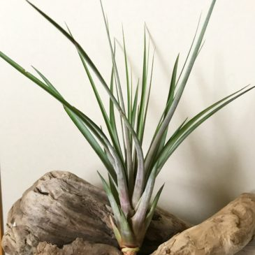 チランジア・マグニスピカ Tillandsia magnispica ティランジア育て方 図鑑
