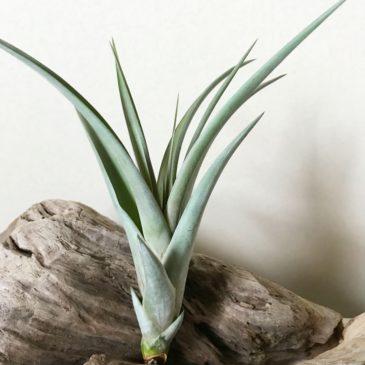 チランジア・フレキシーレディー Tillandsia Flexy Redy (T. flexuosa x (T. concolor x streptophylla)) ティランジア育て方 図鑑