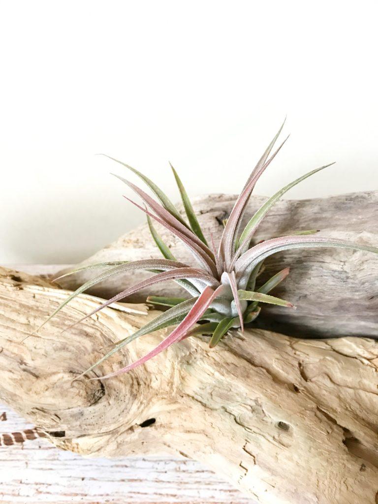 チランジア・シルバートリンケット Tillandsia Silver Trinket (T. ionantha x T. chiapensis)