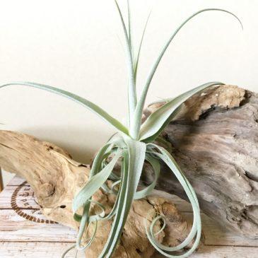 チランジア・ジューンT Tillandsia June T (T. duratii x T. gardneri) ティランジア育て方 図鑑