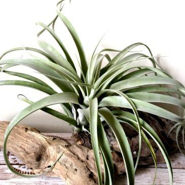 チランジア・カピタータ・シルバーローズ×キセログラフィカ Tillandsia capitata 'Silver Rose' x T.xerographica ティランジア育て方 図鑑