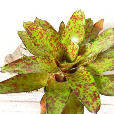 ネオレゲリア・ビッグオー Neoregelia Big O(Neo.'Damask Rose' × Neo.'olens') タンクブロメリア 育て方 図鑑 【Frontier Plants】