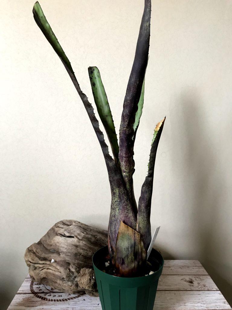 ホヘンベルギア・ペンナエ Hohenbergia pennae