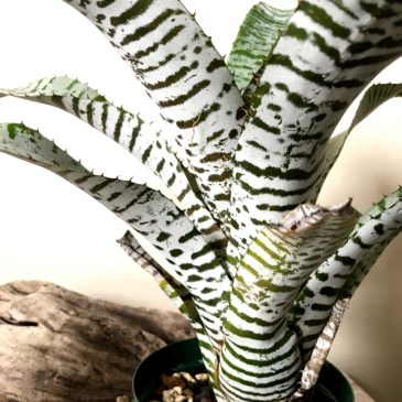 エクメア・チャンティニー・デレオン Aechmea chantinii 'De Leon' タンクブロメリア 育て方 図鑑 【Frontier Plants】