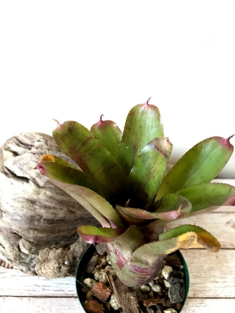 ネオレゲリア・プッシーフット Neoregelia Pussy Foot(Neo. lilliputiana × Neo. 'Winter Bloom')